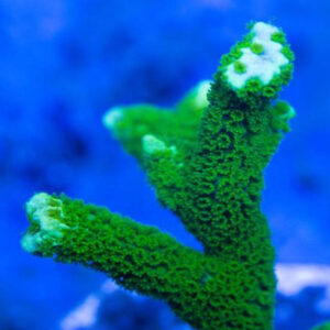 Digitate Montipora are attractive, finger-like branching corals.