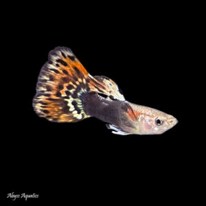 The Dragon Head Guppy is a stunning colour morph, with a beautiful patterned tail