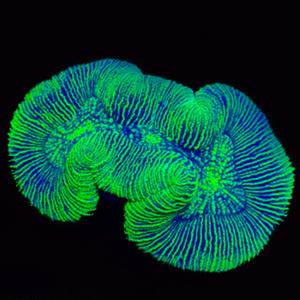 Toxic Green Trachyphyllia