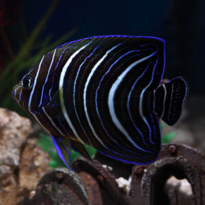 Juvenile koran angelfish features striking patterns