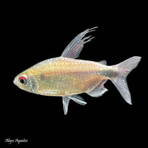 The Blue Diamond Congo Tetra is an unusual and rarely seen species of tetra from Africa