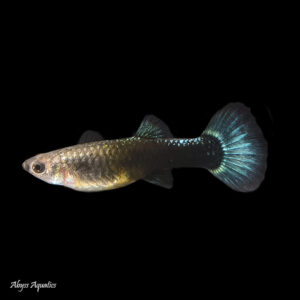 The Blue Sapphire Guppy is a beautiful colour strain, with a dark body and shimmering blue tail.