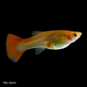 The Bronze guppy female is a classic colour morph