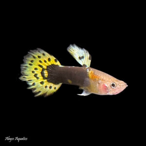The leopard guppy male is a classic colour variant with a beautifully spotted tail