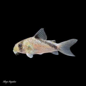 The Melini corydora is a small shoaling species of catfish from South America