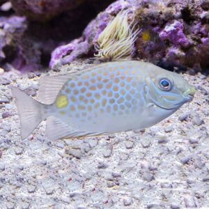 Orange Spot Rabbitfish striking orange spotted fish that's good for eating hair algae