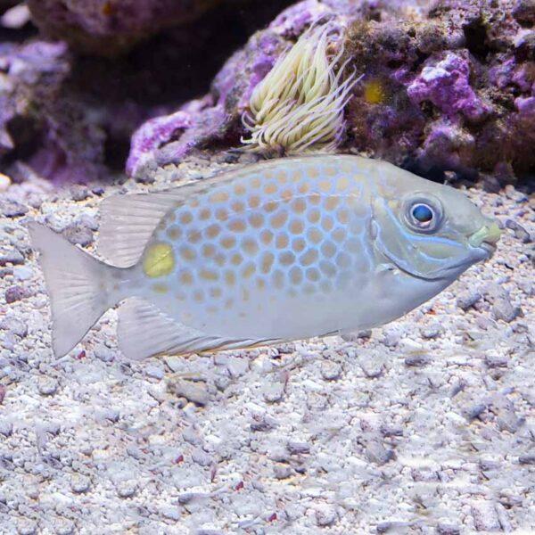 Orange Spot Rabbitfish striking orange spotted fish that's good for eating hair algae