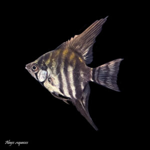 The Black Lace Angelfish is a lovely colour morph, with dark vertical stripes