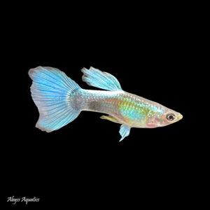 The Blue Diamond Guppy Male is a bright and vibrant colour strain