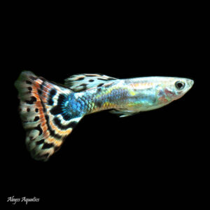 The Galaxy Medusa Guppy Male is one of the best looking colour variants available today