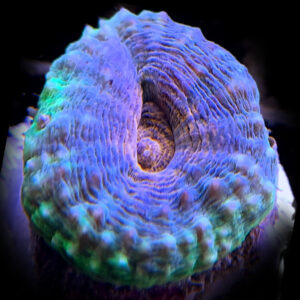 Rainbow Lobophyllia (Lobophyllia sp) is a brilliant multi-coloured, slow growing coral.
