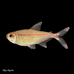 Red Stripe Tetra lovely golden fish with a striking red horizontal line