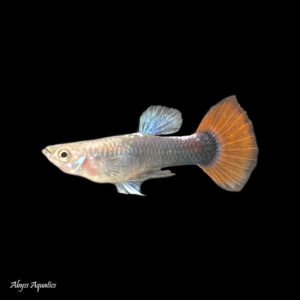 The Red Tail Black guppy is a striking guppy morph with dramatic colouration