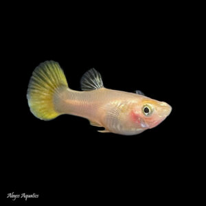 The Yellow guppy is a lovely colour morph, with a beautiful golden tail