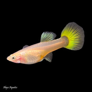 The Yellow Tuxedo Guppy female is a classic colour morph with a pretty tail