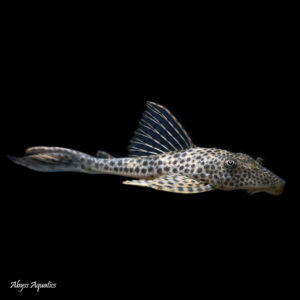 The Blue Fin Thresher Pleco is a beautiful species with a spotted pattern