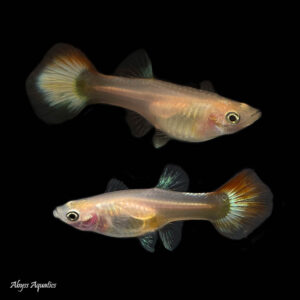 Platinum Red Tail Guppy Females are a beautiful strain with beautifully coloured tails