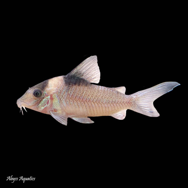 Crypticus Corydoras is a larger and rarely seen species of cory catfish