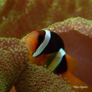 Black Clarkii Clownfish are stunning fish.