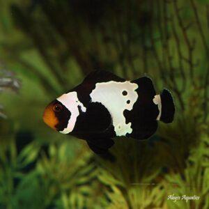 Black Snowflake Clownfish are beautiful ocellaris variants.