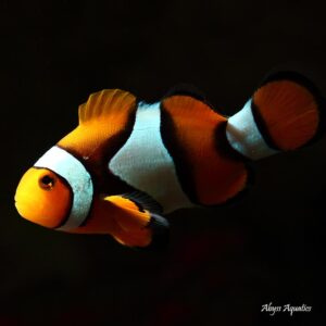 Coral Sea Percula Clownfish are beautiful and iconic marine fish.