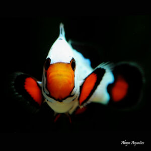 Frostbite Clownfish are beautiful Ocellaris variants.