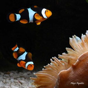 Onyx Clownfish are spectacular fish.