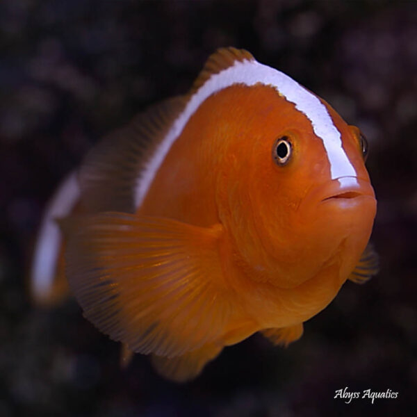 Orange Skunk Clownfish are absolutely adorable.