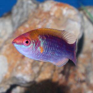 Sapphire Dwarf Parrot gorgeous dwarf parrot fish
