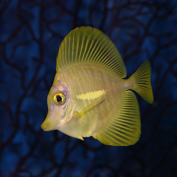 Zebrasoma flavescens tank bred yellow tang amazing and cute
